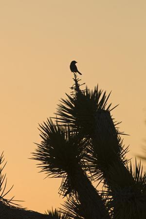 Loggerhead Shrike (Lanius ludovicianus) adult, Joshua Tree by David Tipling