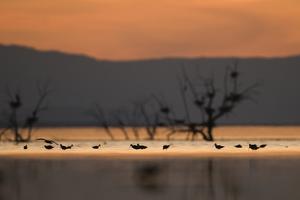 Migrant waders feeding in saline lagoon habitat, silhouetted at dusk, Salton Sea, California by David Tipling