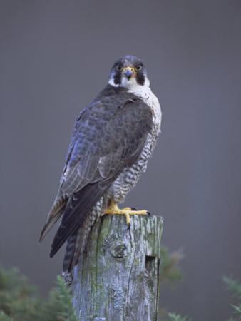 Peregrine Falcon (Falco Peregrinus), Scotland, UK, Europe