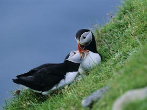 Puffin Pair (Fratercula Artica) Billing, Shetland Islands, Scotland, UK, Europe by David Tipling