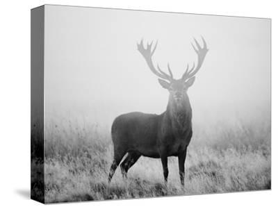 Red Deer (Cervus Elaphus) Stag at Dawn During Rut in September, UK, Europe by David Tipling