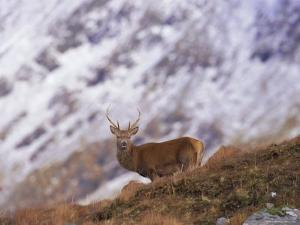 Red Deer Stag in the Highlands in February, Highland Region, Scotland, UK, Europe by David Tipling