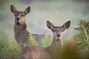 Red Deer by David Tipling