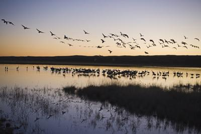 Sandhill Crane (Grus canadensis) flock, Bosque del Apache National Wildlife Refuge by David Tipling