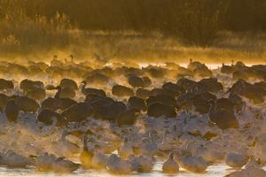 Snow Goose (Chen caerulescens) and Sandhill Crane (Grus canadensis) mixed flock, New Mexico by David Tipling
