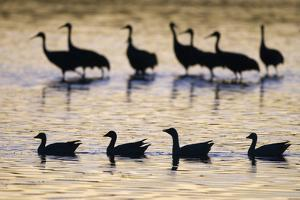Snow Goose (Chen caerulescens) and Sandhill Crane (Grus canadensis)silhouetted, New Mexico by David Tipling