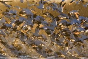 Snow Goose (Chen caerulescens) flock, in flight, Bosque del Apache National Wildlife Refuge by David Tipling