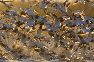 Snow Goose (Chen caerulescens) flock, in flight, Bosque del Apache National Wildlife Refuge by David Tipling