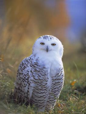 Snowy Owl, Alaska, USA by David Tipling