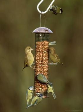 Tits and Other Garden Birds on Feeder, Winter by David Tipling