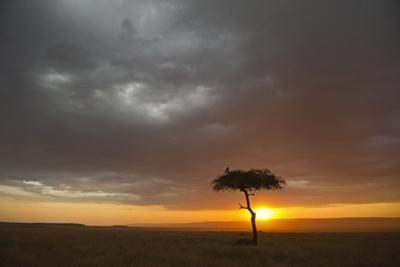 Tree silhouetted in savannah habitat at sunset, Masai Mara, Kenya by David Tipling