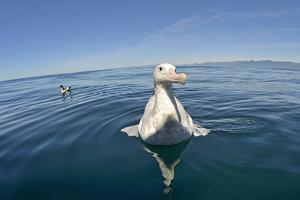 Wandering Albatross by David Tipling