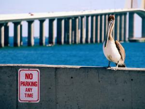 Brown Pelican in Front of Sunshine Skyway Bridge, Tampa Bay, Tampa, Florida by David Tomlinson