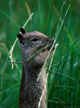 California Ground Squirrel (Spermophilus Beecheyi) in Grasslands, Yosemite National Park, CA, USA by David Tomlinson