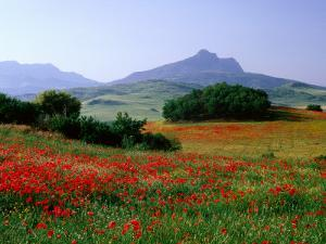 Rolling Hills with Poppies Near Olvera by David Tomlinson