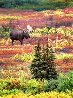 Bull Moose and Autumn Tundra, Denali National Park, Alaska, USA by David W. Kelley