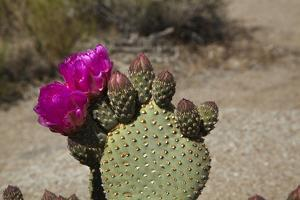 Beavertail Cactus Flower, Lone Pine, Inyo County, California by David Wall