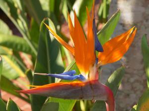 Bird-of-Paradise Flower, Sunshine Coast, Queensland, Australia by David Wall