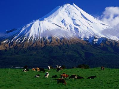 Cattle Graze Beneath the Dormant Volcano Mt. Taranaki, or Egmont, Taranaki, New Zealand by David Wall