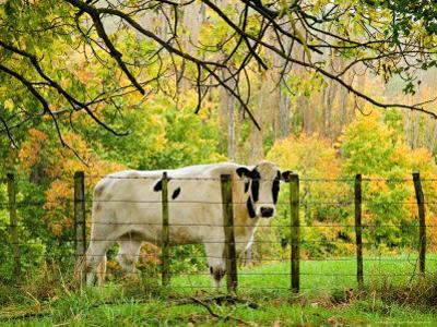 Cow and Farmland, Taoroa Junction, Rangitikei, North Island, New Zealand by David Wall
