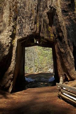 Dead Giant Tunnel Tree, Tuolumne Grove, Yosemite NP, California by David Wall