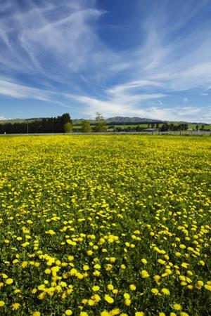 Field of Dandelions, Near Greta Valley, North Canterbury, South Island, New Zealand by David Wall