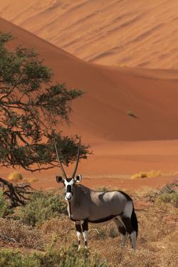 Gemsbok and Sand Dunes, Namib-Naukluft National Park, Namibia by David Wall