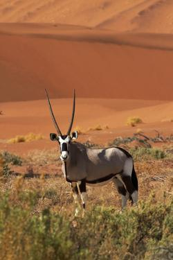 Gemsbok and Sand Dunes, Namib-Naukluft National Park, Namibia by David Wall