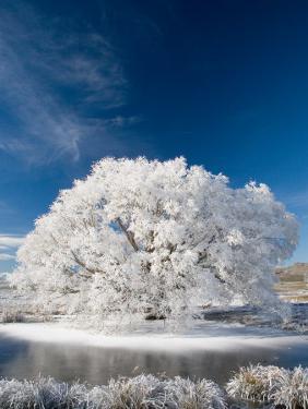 Hoar Frost on Willow Tree, near Omakau, Central Otago, South Island, New Zealand by David Wall
