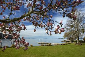 Magnolia tree in bloom, and Lake Taupo, Braxmere, Tokaanu, near Turangi, North Island, New Zealand by David Wall