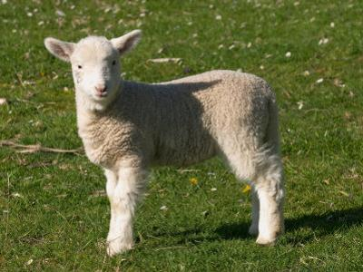 New Lamb, South Island, New Zealand by David Wall