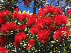 Pohutukawa Flowers, New Zealand by David Wall