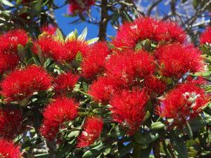 Pohutukawa Flowers, New Zealand by David Wall