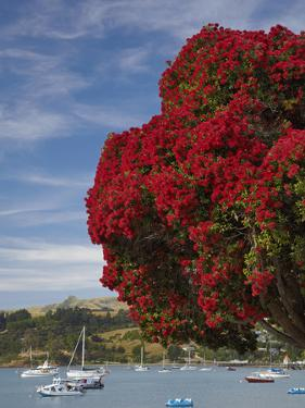 Pohutukawa Tree and Akaroa Harbour, Akaroa, Banks Peninsula, Canterbury, South Island, New Zealand by David Wall
