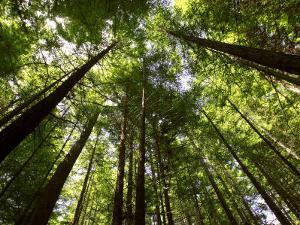 Redwood Forest, Rotorua, New Zealand by David Wall