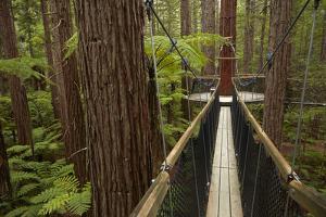 Redwoods Treewalk at The Redwoods (Whakarewarewa Forest), Rotorua, North Island, New Zealand by David Wall