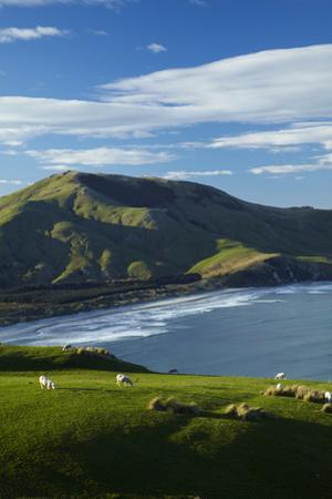 Sheep grazing near Allans Beach, Dunedin, Otago, New Zealand. by David Wall