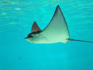 Sting Ray, Sea World, Gold Coast, Queensland, Australia by David Wall