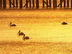 Sunrise and Pelicans by Urangan Pier, Hervey Bay, Queensland, Australia by David Wall
