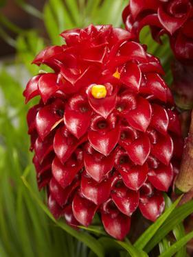Tropical Flower in Garden, Coral Coast, Viti Levu, Fiji, South Pacific by David Wall