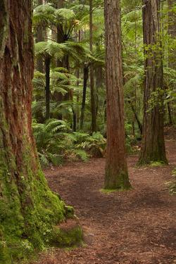 Walking track through The Redwoods (Whakarewarewa Forest), Rotorua, North Island, New Zealand by David Wall