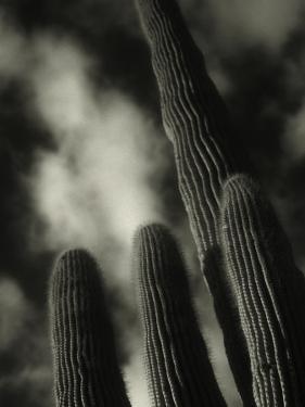 Saguaro Cactus, Kofa Nwa, AZ by David Wasserman