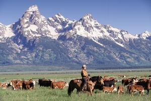 Cowboy Tending Cattle on Ranch, WY by David White