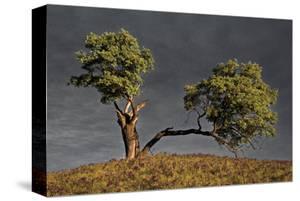 Split Oak by David Winston