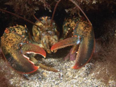 American Lobster Head, Homarus Americanis, Atlantic Coast of North America
