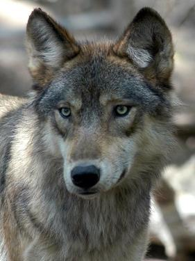Gray Wolf Endangered by Dawn Villella