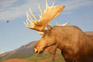 Moose in Canadian Wilderness by dbvirago
