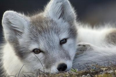 Arctic Fox (Alopex Lagopus) Portrait, Trygghamna, Svalbard, Norway, July