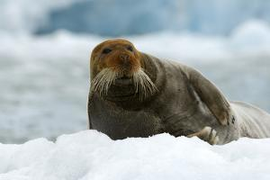 Bearded Seal (Erignathus Barbatus) Portrait, Svalbard, Norway, June 2008 by de la