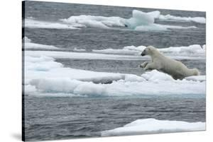 Polar Bear (Ursus Maritimus) Leaping from Sea Ice, Moselbukta, Svalbard, Norway, July 2008 by de la